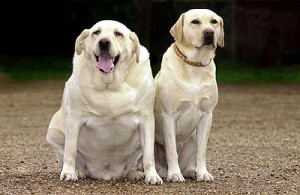 Fat dogs aren't cute