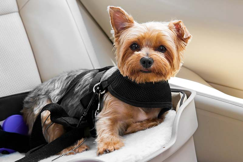 Traveling with pets with cancer requires special pet travel safety planning