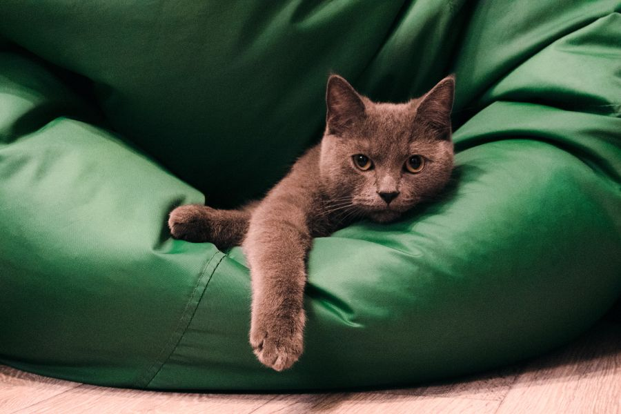 A gray cat in Elmhurst relaxing on green pillow