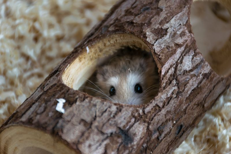 A hamster peeking out of a little log.