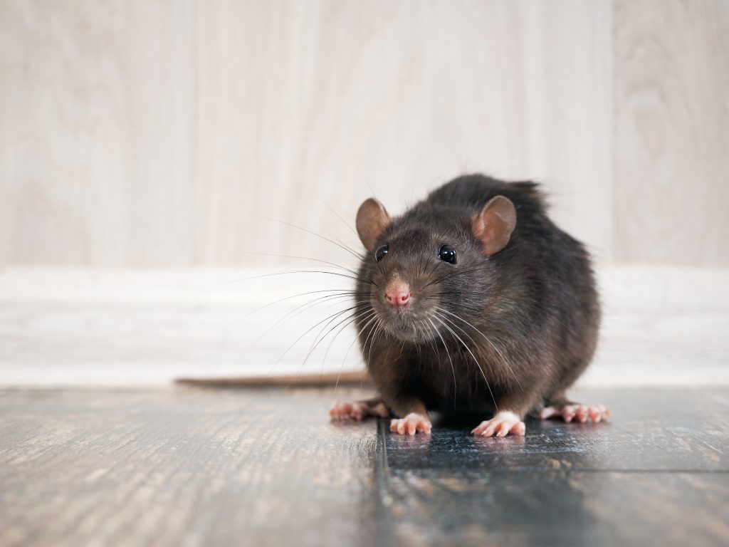 A rat on a wood floor.